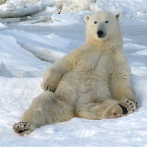 Polar Bears in Interesting Poses