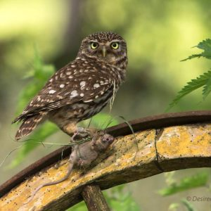 Steenuiltjes - Little Owl