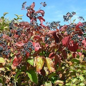 Blue Blaze™ Arrow Wood Viburnum